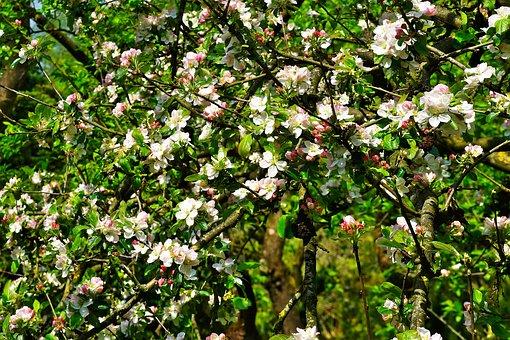 Apple Tree, Apple Tree Blossom, Blossom, Bloom