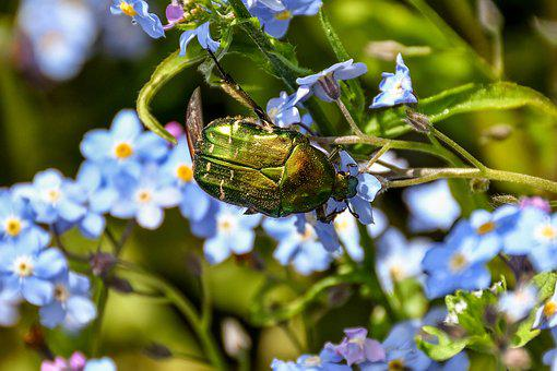 Rose Beetle, Insect, Beetle, Flight Insect, Nature