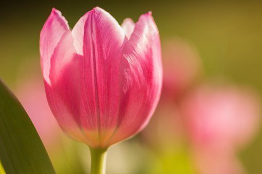Tulip, Flower, Spring, Nature, Botany, Cut Flowers