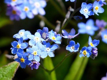 Flower, Blue, Blossom, Bloom, Nature, Spring, Close