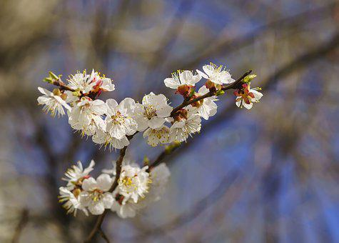 Spring, Apricot, Tree, Plant, Flowers, Color Apricot