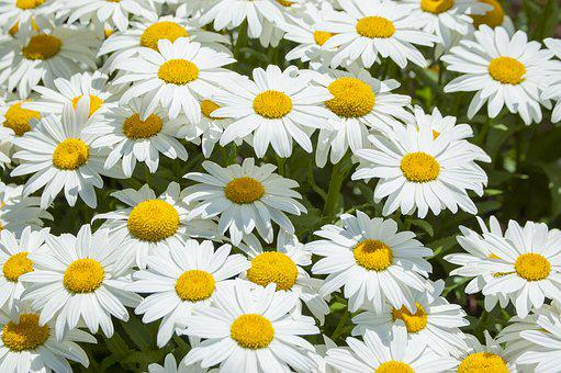 Daisy, Flower, White, Blossom, Spring, Floral, Garden