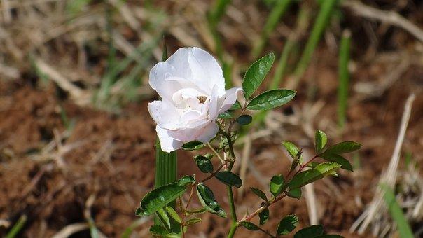 White Rose, Rose, Flower, Blossom, Petal, Fresh, White