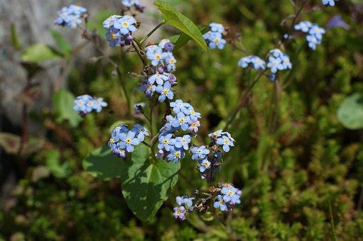 Forget, Flower, Spring, Blue, Garden