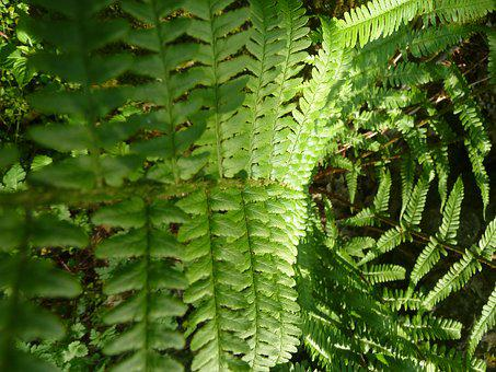 Fern, Green, Forest, Plant, Nature, Leaf Fern, Macro