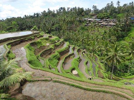 Bali, Rice, Terrace, Travels Race, Green, Indonesia