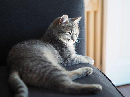 Grey Cat, Cat Lying, Indoor Cat