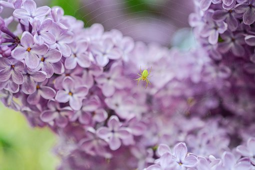 Lilac, Pink, Purple, Spider, Web, Yellow Spider, Insect