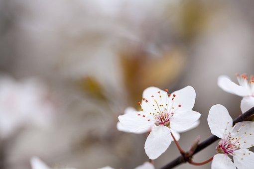 Flower Photography, Flower, White Flower, Plum
