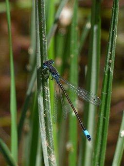 Dragonfly, Stem, Wetland, River, Ischnura Graellsii