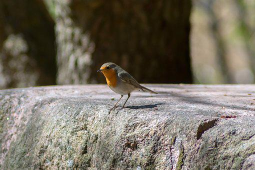 Bird, Robin, Nature, Nature Photo