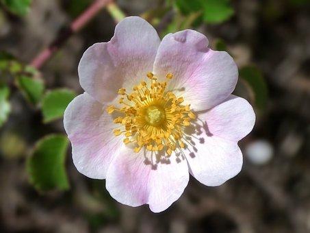 Rosa Canina, Wild Flower, Wild Rose, Beauty