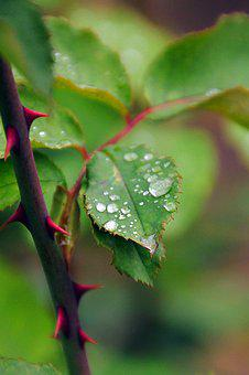 Dew-drop, Green, Foliage, Rose, Just Add Water, Nature