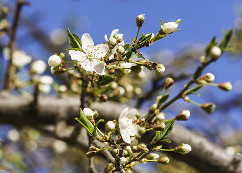 Flowers, Cherry, Spring, Nature, Cherry Blossoms