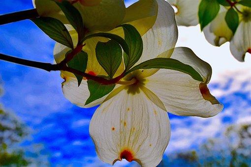 Dogwood, Flower, Nature, Tree, Spring, Plant, Bloom