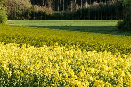 Field Of Rapeseeds, Surfaces, Stripes, Geometric