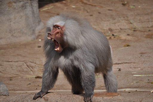 Baboon, Tooth, Roar, Area