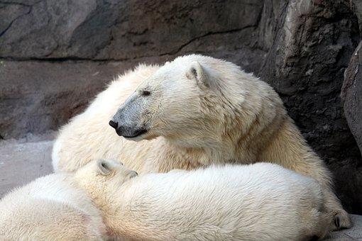 White Bear, Female Bear, Teddy-bear, Polar Bear, Zoo