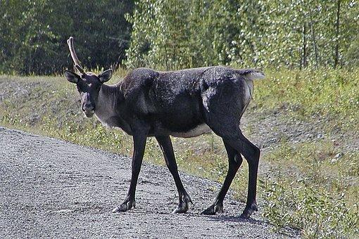 Caribou, Antler, Wild, Wildlife, Animal, Cervidae