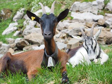 Goats, Animals, Capra Aegagrus Hircus, Horns, Horned