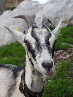 Goat, White, Chew, Satisfied, Animal, Domestic Goat