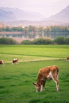 Cow, Lake, Graze, Nature, Abendstimmung, Cows, Bank