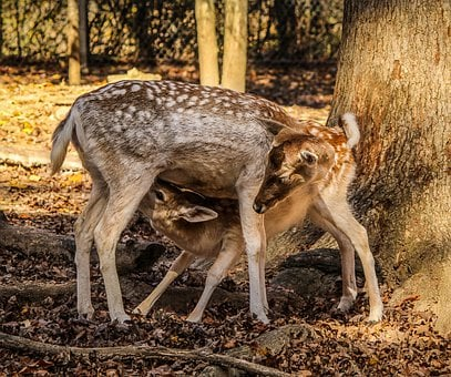 Fawn Feeding, Doe, Hind, Fallow Deer, Cervidae