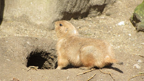 Prairie Dog, Zoo, Animal, Mammal, Wildlife, Rodent