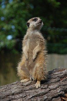 Suricat, Animal, Upright, Africa, Zoo, Wild Animal
