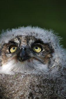 Baby Owl, Eyes, Cute, Bird