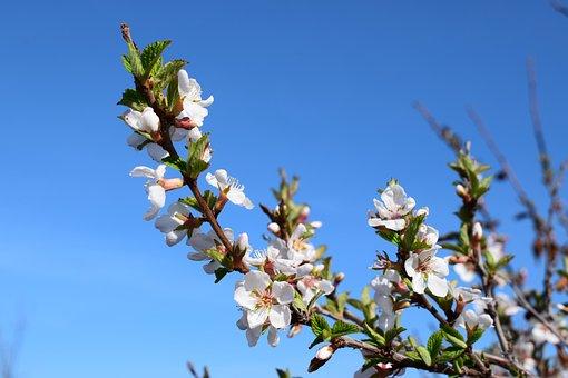 Cherry, Bloom, Leaves, Spring, White Flowers, Flower