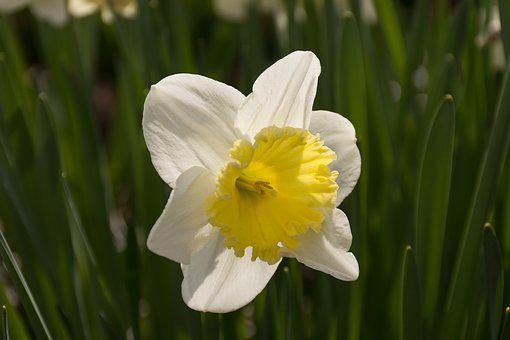 Daffodil, Flower, Easter, Yellow Flowers, Spring