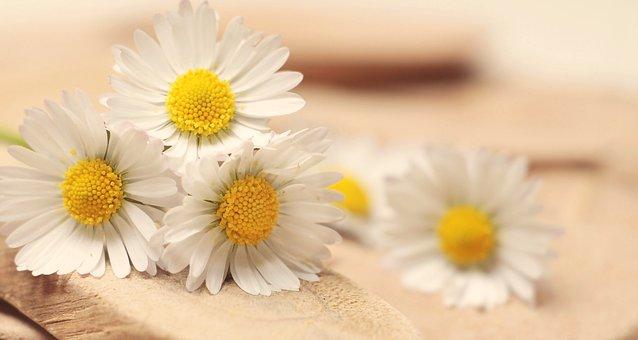 Daisy, Thank You, Romantic, Romance, White, Affection