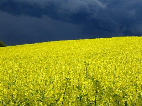 Field Of Rapeseeds, Thunderstorm, Oilseed Rape