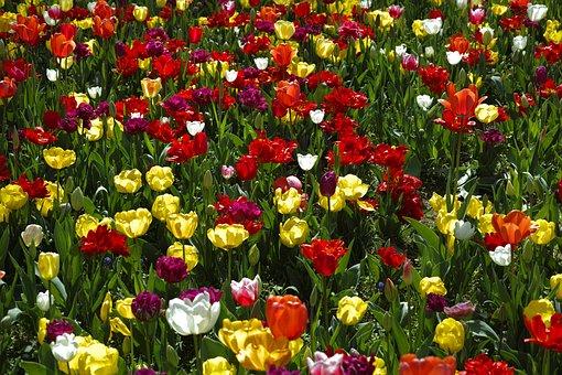 Tulips, Flower, Flowers, Nature, Plant, Beautiful