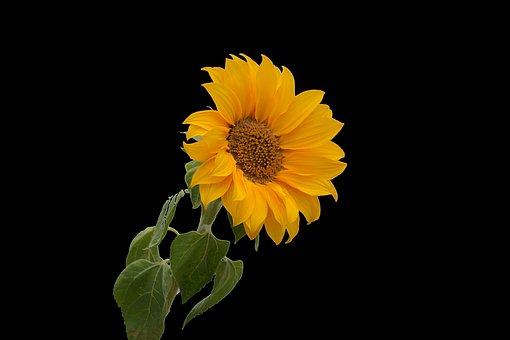 Sunflower, Flower, Yellow, Petal, Big Flower, Sun