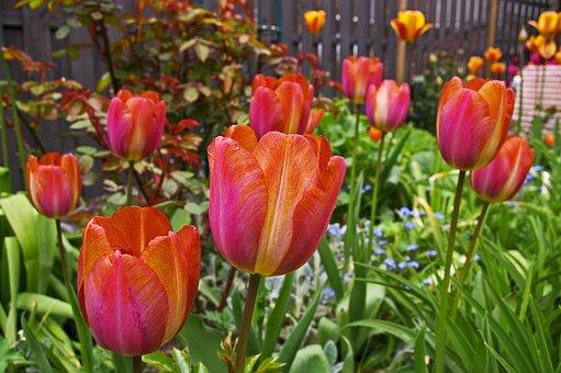 Tulips, Garden, Spring, Nature, Plant, Flower, Blossom