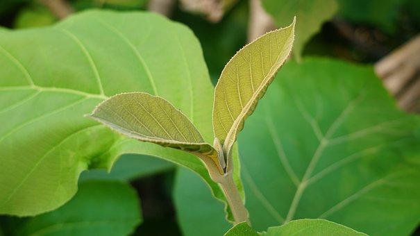 Green, Leaf, Nature, Green Leaf, Green Leaves