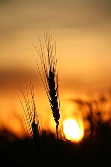 Wheat, Sunset, Field, Nature, Summer, Sun, Farm, Yellow