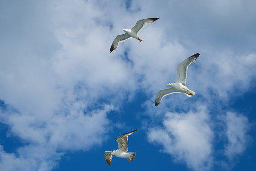 Seagull, Bird, To Migrate, Environmental, Freedom