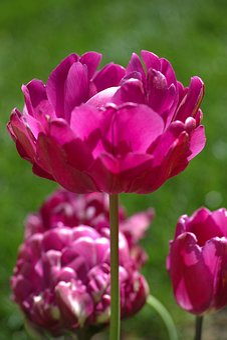 Tulips, Flower, Flowers, Nature, Purple, Plant