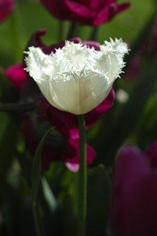 Tulips, Flower, Flowers, Nature, White, Plant