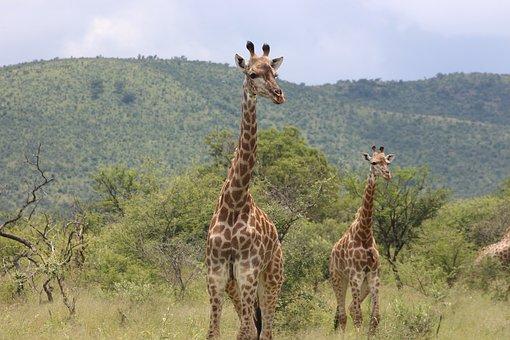 Giraffe, Animal, Wild, Nature, Wildlife, Africa, Safari