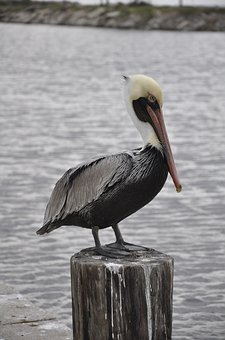 Animal, Bird, Pelican