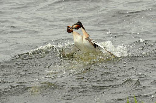Grebe, Bird, Waterfowl, Fighting, Territory