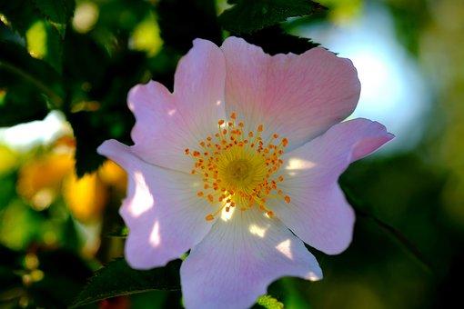 Blossom, Bloom, Bush, Spring, Nature, Flowering Shrub