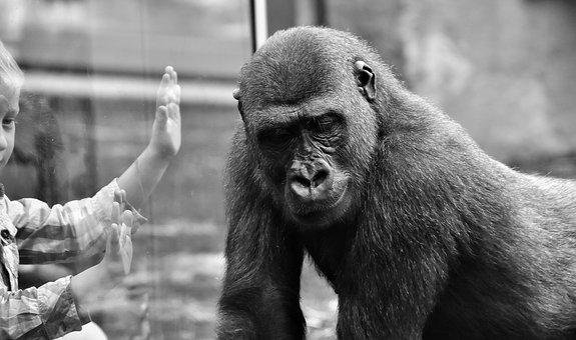 Gorilla, Child, Separation, Pain, Sad, Farewell, Animal
