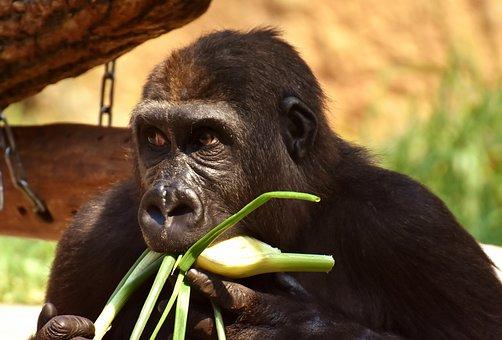 Gorilla, Feeding, Hungry, Greedy, Funny, Zoo