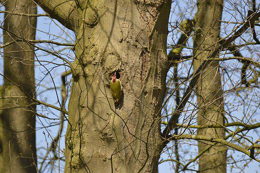 Green Woodpecker, Tree, Aesthetic, Woodpecker, Birds