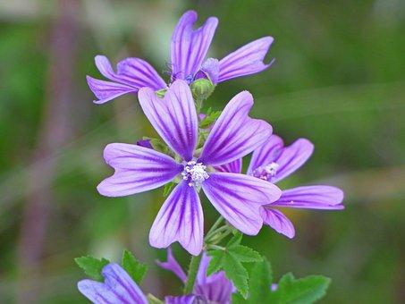 Mallow, Wild Flower, Beauty, Petals